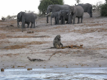 Baboon eating elephant dung