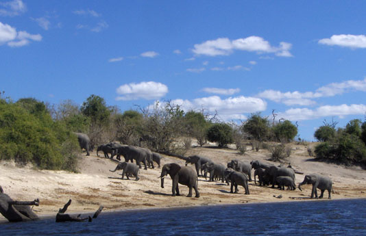 elephantsLeavingWater.sm