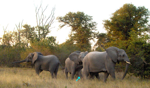 Four female adults protecting one baby elephant