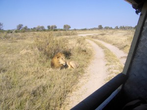 Lion hidden from truck behind bush.